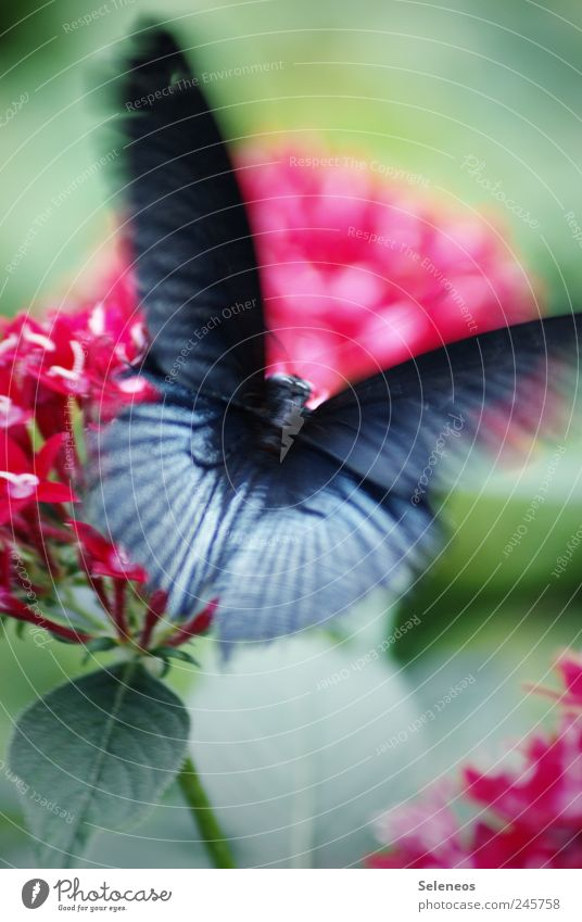 butterfly Summer Environment Nature Beautiful weather Plant Flower Leaf Blossom Garden Park Meadow Animal Butterfly 1 Flying Exotic Speed Black Love of animals