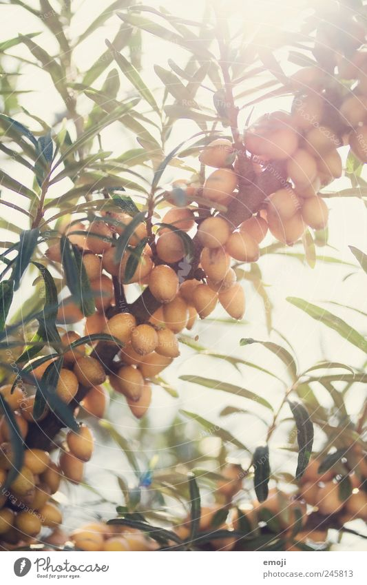 Nature Tree Plant Summer Fruit Natural Beautiful weather Foliage plant Berries Wild plant Sallow thorn