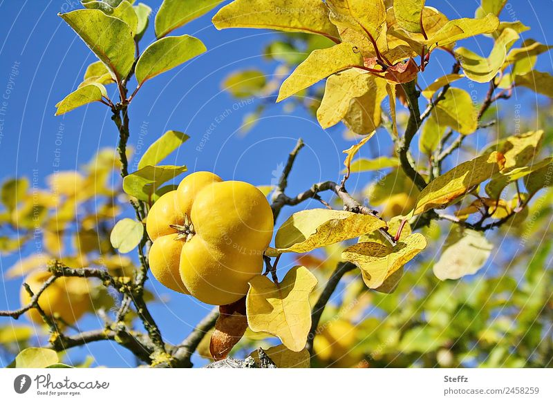 Quince ready for picking Fruit Tree fruit Pomacious fruits Nature Autumn Beautiful weather Agricultural crop Quince tree Quince leaf Cydonia Garden Fruit garden