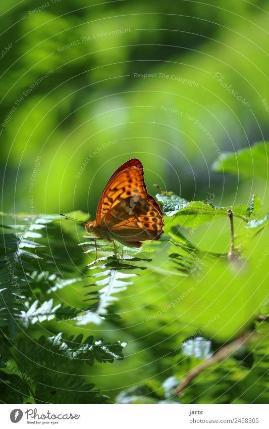 emperor's coat II Plant Summer Autumn Beautiful weather Fern Forest Wild animal Butterfly 1 Animal Sit Elegant Glittering Bright Natural Green Orange Nature