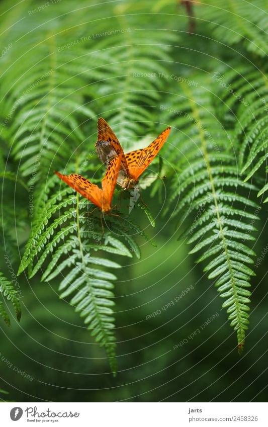 two kaismantel on a fern Summer Fern Forest Wild animal Butterfly 2 Animal Pair of animals Love Exotic Beautiful Green Orange Sympathy Together Love of animals