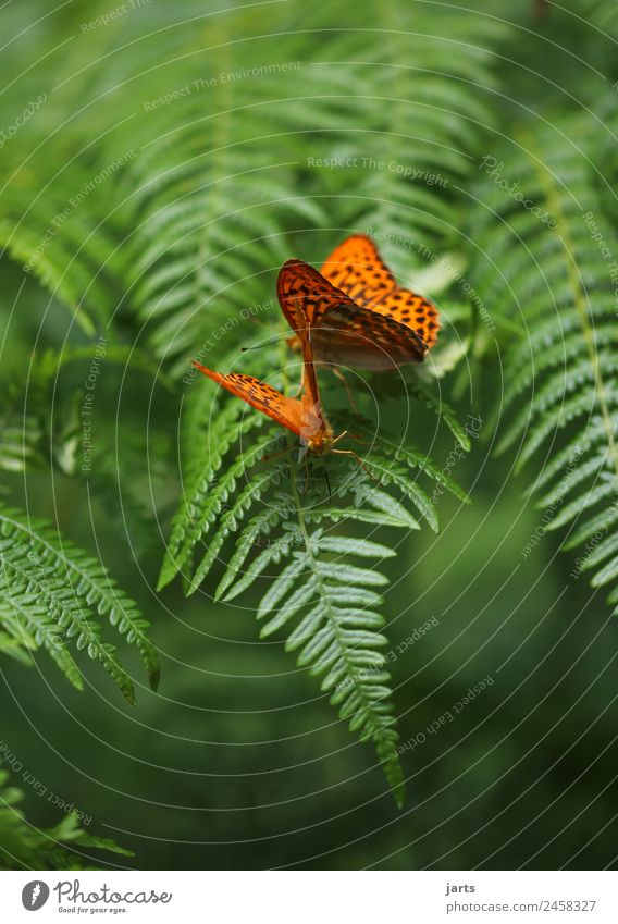 fern with two kaisermantel Plant Animal Summer Beautiful weather Fern Forest Wild animal Butterfly 2 Pair of animals Love Exotic Natural Green Orange Sympathy