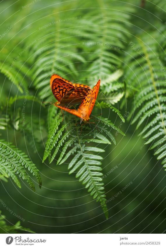 two emperor's cloak Plant Animal Summer Beautiful weather Fern Forest Butterfly 2 Pair of animals Sit Happy Natural Green Orange Nature Affection