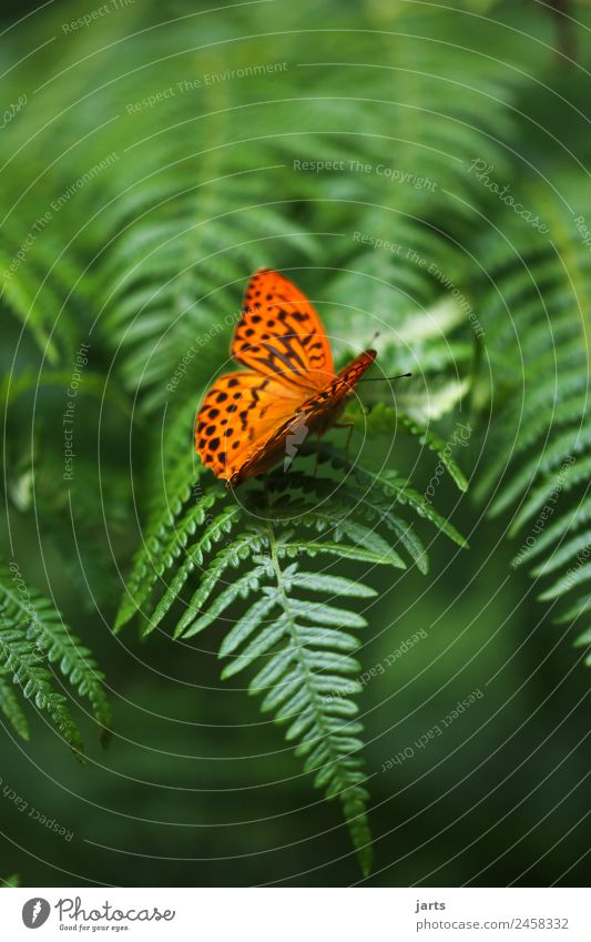 Beauty II Plant Animal Beautiful weather Fern Forest Wild animal Butterfly 1 Sit Green Orange Nature Silver-washed fritillary Colour photo Multicoloured