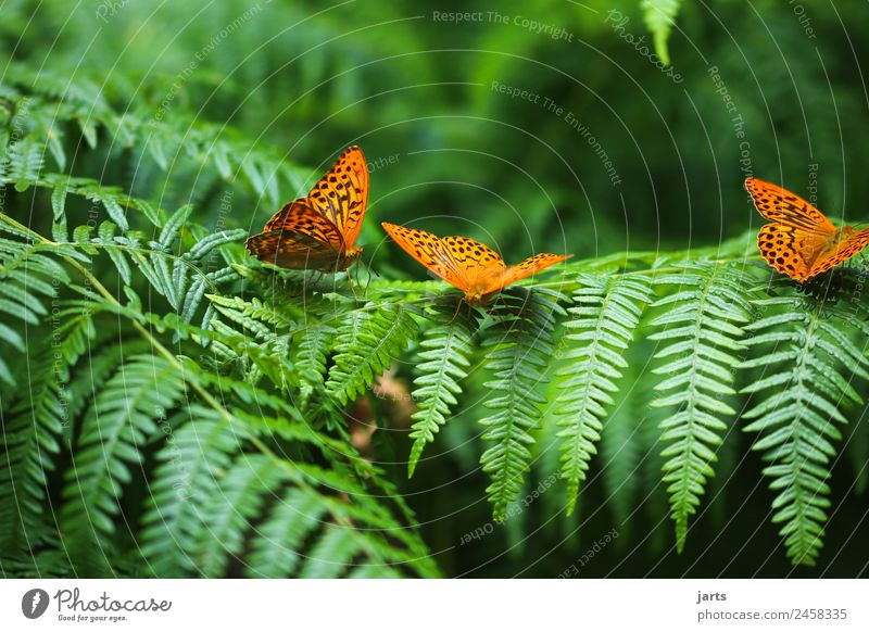 Three Plant Animal Summer Beautiful weather Fern Forest Wild animal Butterfly 3 Natural Green Orange Nature Silver-washed fritillary Colour photo Exterior shot