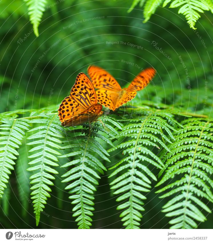 kaismantel in twos Summer Beautiful weather Fern Forest Animal Butterfly 2 Pair of animals Sit Natural Orange Together Nature Silver-washed fritillary
