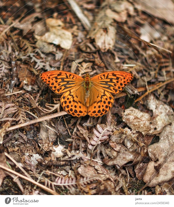 kaismantel on the forest floor Plant Animal Summer Beautiful weather Fern Leaf Forest Wild animal Butterfly 1 Sit Exotic Natural Brown Orange Patient Calm