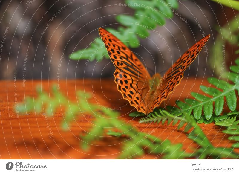 kaismantel on a bench Plant Animal Summer Fern Forest Butterfly 1 Sit Esthetic Beautiful Natural Orange Nature Silver-washed fritillary Bench Colour photo