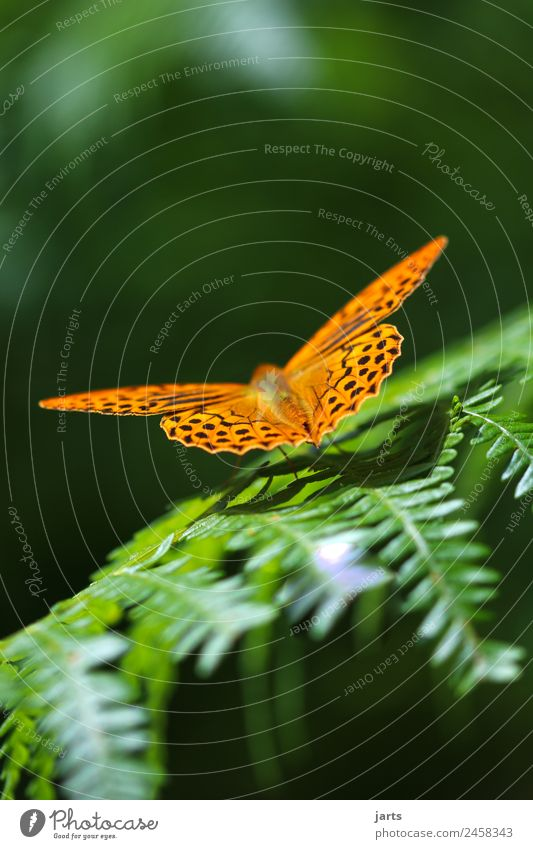 emperor's mantle Summer Beautiful weather Fern Forest Wild animal Butterfly 1 Animal Sit Elegant Natural Green Orange Nature Silver-washed fritillary