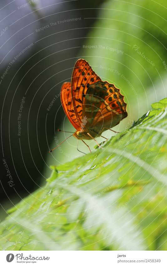 kaismantel on a fern Summer Beautiful weather Fern Forest Wild animal Butterfly 1 Animal Sit Esthetic Exotic Natural Orange Nature Silver-washed fritillary