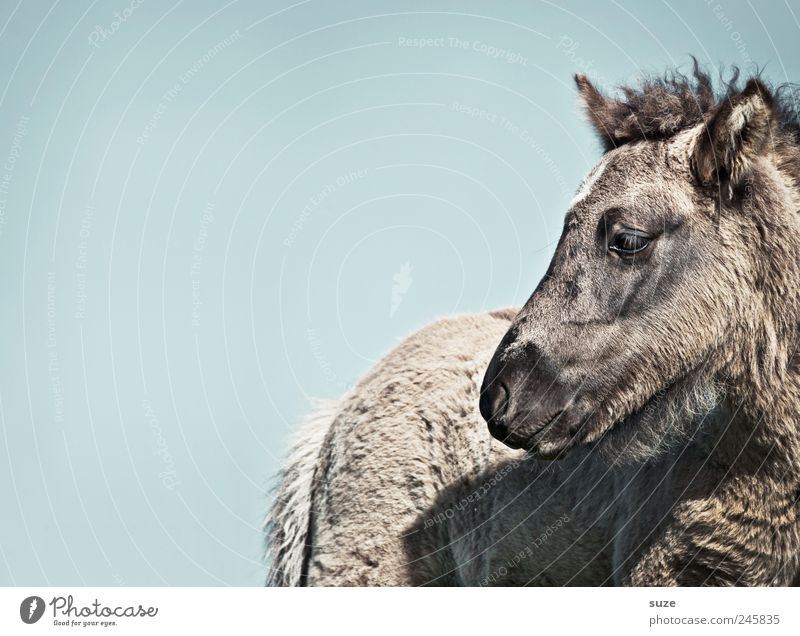 Sky Blue Animal Gray Environment Air Small Baby animal Horse Wild Animal face Wild animal Pelt Cute Iceland Pony