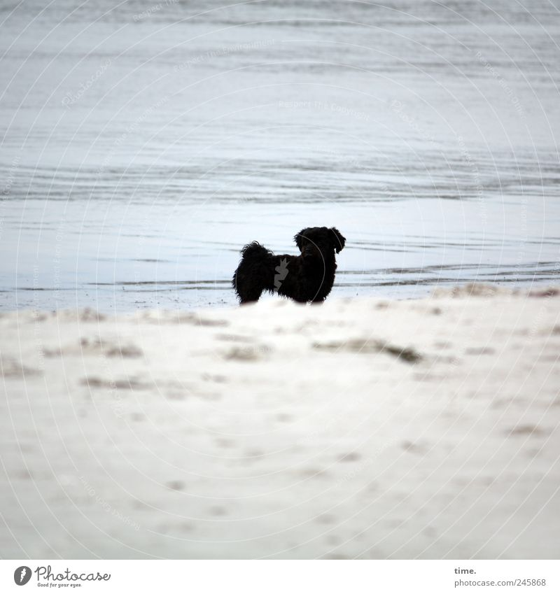 Black Fiffi (looking for a girlfriend) Environment Nature Water Summer Baltic Sea Animal Pet Dog 1 Esthetic Contentment Loneliness Elegant Center point Beach