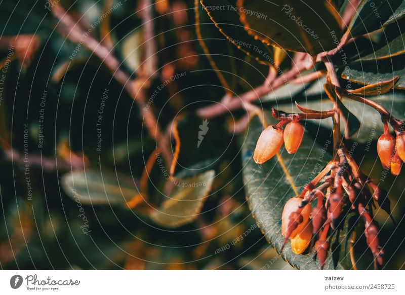 Close-up of arbutus unedo flowers Nature Summer Plant Beautiful Colour Green Tree Flower Red Leaf Forest Dark Yellow Blossom Natural Meadow