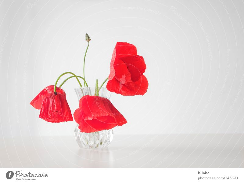 monday Poppy Poppy blossom Flower stalk 3 Green Red White Mother's Day Decoration Colour photo Interior shot Deserted Copy Space right Neutral Background