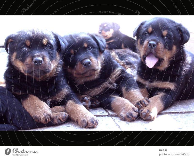 Dog Black Baby animal Friendship Brown Cute Pelt Pet Mammal Cuddly Cuddling Puppy Yawn Dog's snout Dog's head Puppydog eyes