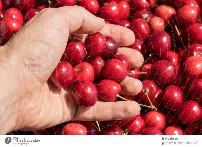 cherry harvest Food Fruit Organic produce Man Adults Hand Fingers Summer To hold on Fresh Delicious Red Cherry Harvest Mature Candy Fruity Many Colour photo