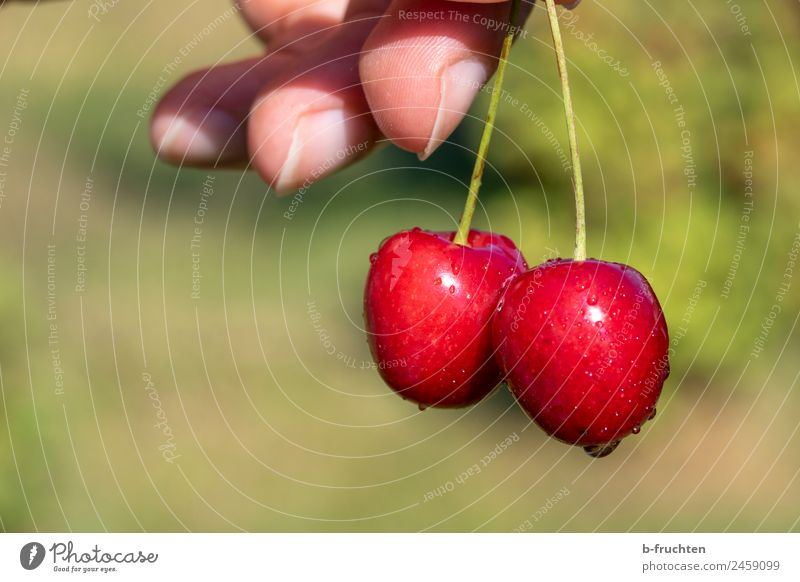 Summer Healthy Eating Hand Food Garden Fruit Fresh Fingers To hold on Delicious Candy Organic produce Cherry Pick