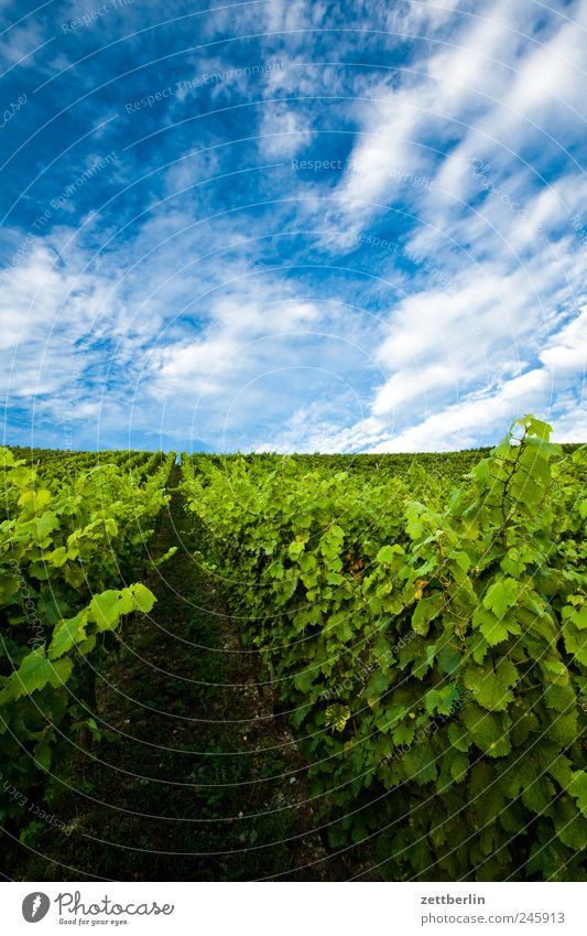 vineyard Vine Vineyard Winegrower Sky Clouds Summer Agriculture Harvest Leaf Bushes Mountain Hill Relaxation Tourism Grape harvest