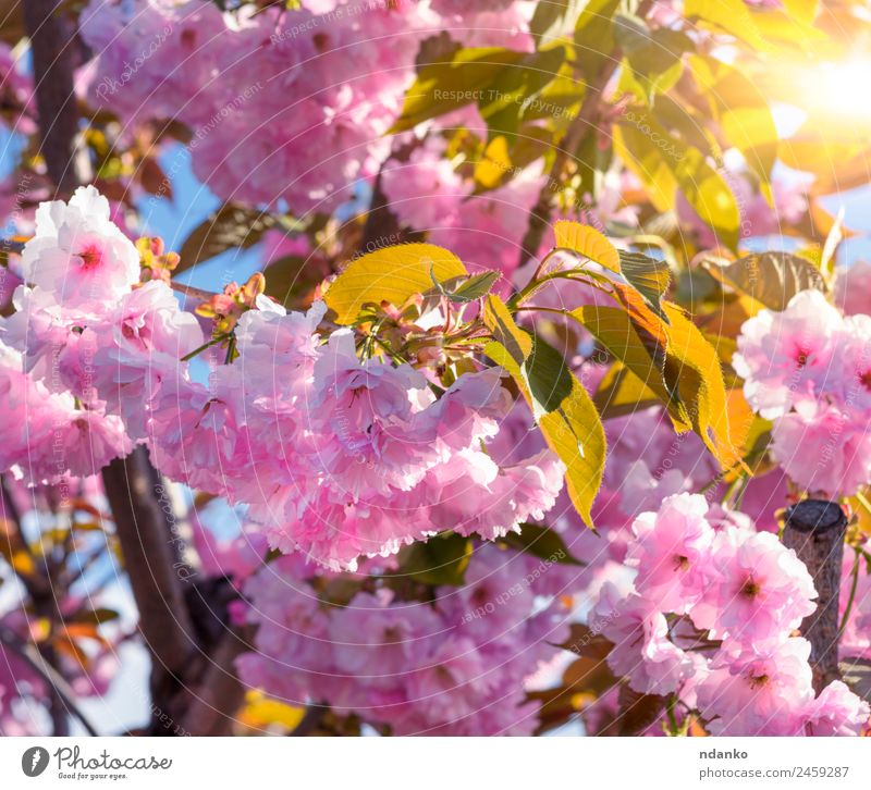flowering branch of a pink cherry Garden Nature Plant Tree Flower Blossom Park Blossoming Fresh Natural Soft Pink Cherry spring sakura background blooming