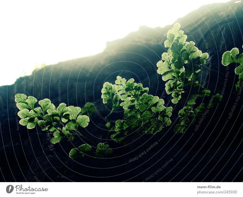 Green Plant Leaf Mountain Lighting Growth Hope Illuminate Upward Fern Pteridopsida Photosynthesis Back-light Wall of rock
