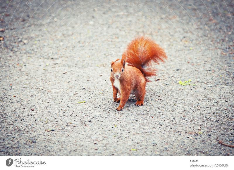 buckling ear Animal Earth Pelt Wild animal 1 Beautiful Small Funny Curiosity Cute Gray Red Interest Squirrel Rodent Tails Ground Animalistic Colour photo