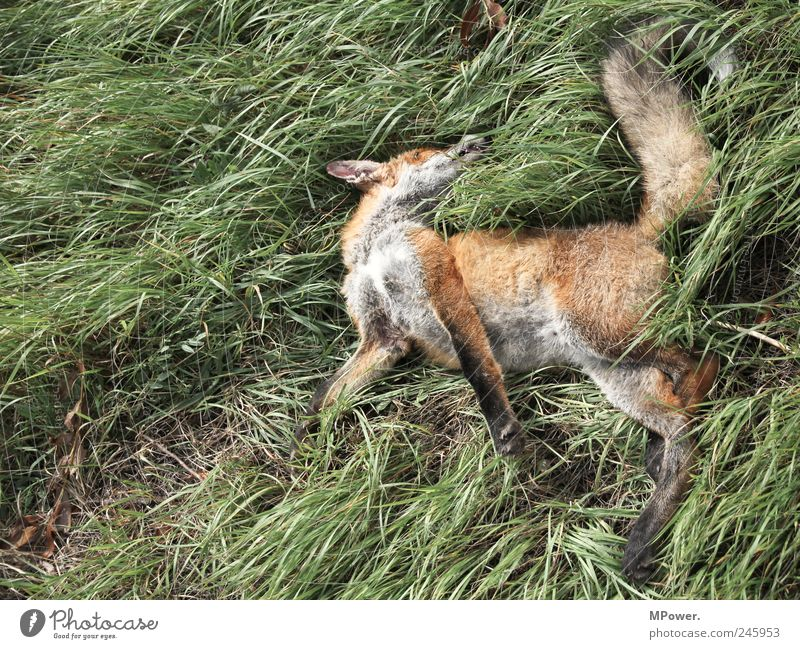he just sleeps... Nature Plant Animal Grass Traffic accident Wild animal Dead animal 1 Authentic Green Red Fox Jacksaw Death Lie Risk of accident