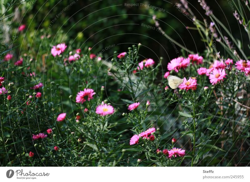 Late summer in the garden late summer Indian summer Indian Summer Afternoon Beautiful weather Flowering asters Aster Afternoon sun blossom late summer's day
