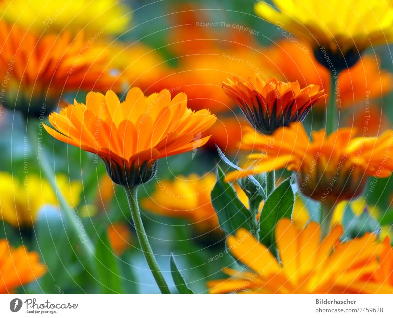 sea of marigold blossoms Marigold Garden plants Medicinal plant Flowering plants Blossom leave Flower meadow Alternative medicine Yellow Summerflower