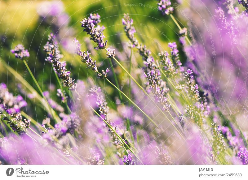 wild lavenders in the field, a sunny day Beautiful Relaxation Summer Garden Nature Landscape Plant Sky Flower Blossom Natural Blue Emotions Lavender lavander