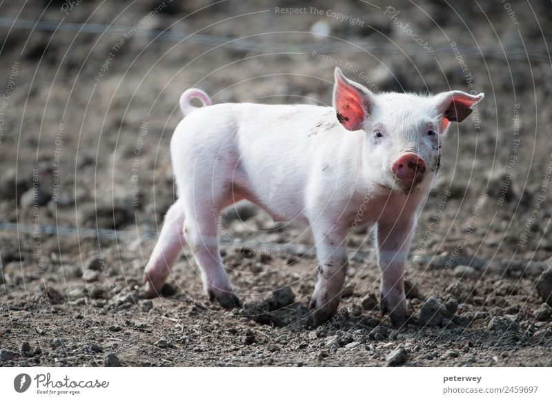 Cute happy baby pig with ear tag Animal 1 Baby animal Funny Brown Pink agriculture barn barnyard cute dirt domestic farm farmyard head hog little mud oink