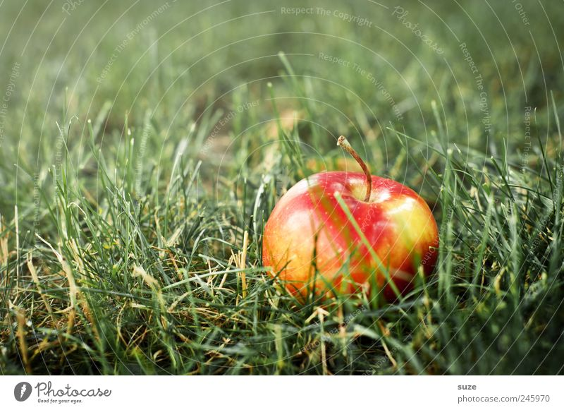 The apple fell quite far from the tree Food Fruit Apple Nutrition Vegetarian diet Grass Meadow Lie Authentic Friendliness Natural Juicy Sweet Green Red Harvest