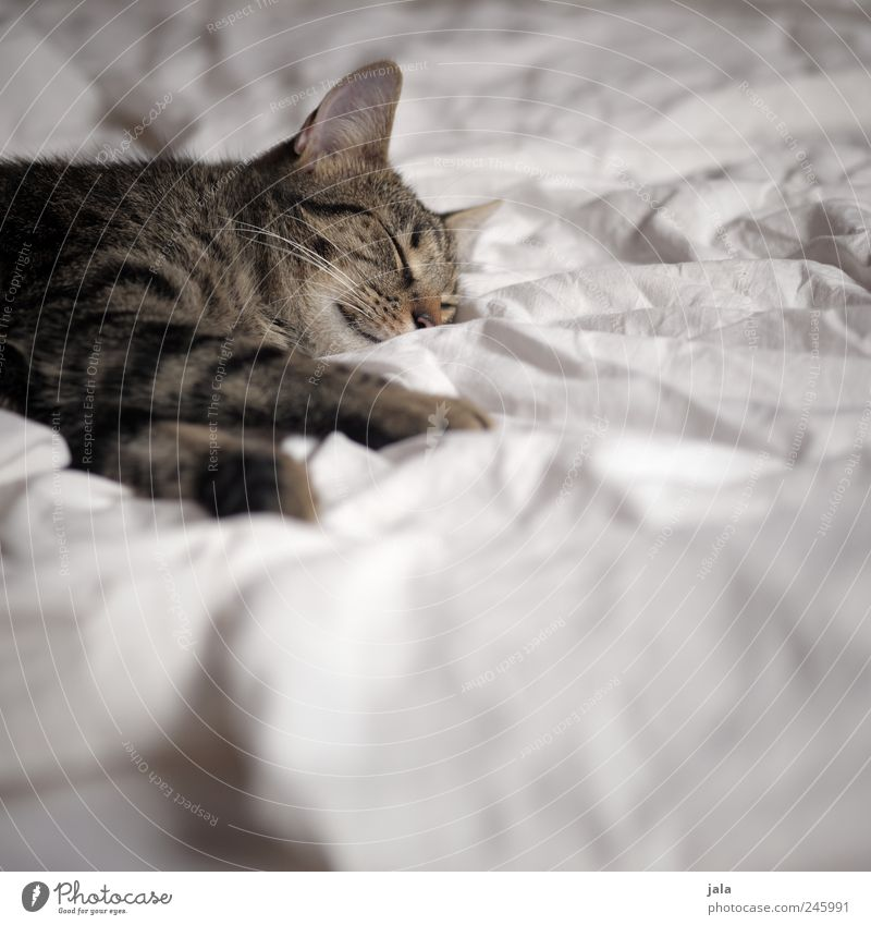 dozy Animal Pet Cat Animal face Paw 1 To enjoy Lie Sleep Colour photo Interior shot Deserted Copy Space bottom Day Animal portrait Closed eyes