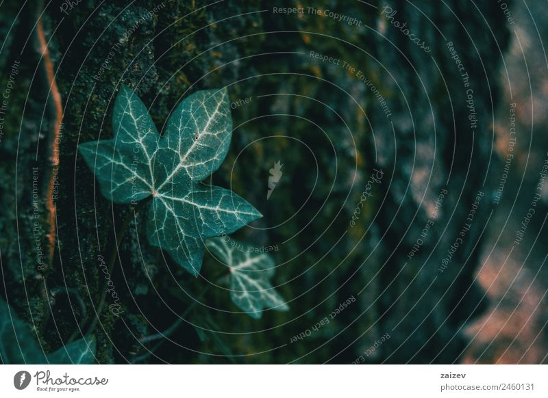 Close-up of an isolated ivy leaf in a dark environment Herbs and spices Summer Garden Decoration Climbing Mountaineering Environment Nature Plant Ivy Leaf