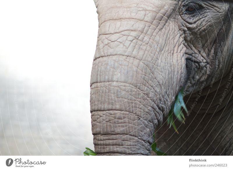 Animal Nose Wrinkle Wild animal Zoo To feed Elephant Feeding Trunk Elephant skin