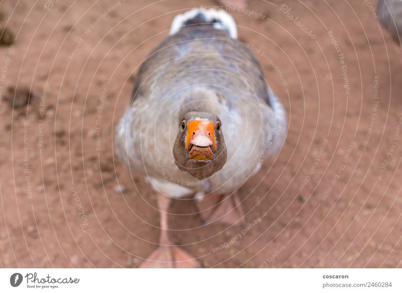 Irritated angry goose attacking Nature Animal Bird Mouth Fear of death Farm Anger Beak Aggression Domestic Assault Honk