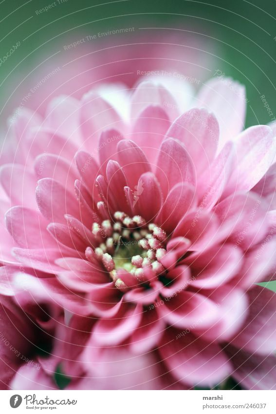 Nature Beautiful Plant Summer Flower Blossom Pink Growth Blossoming Blossom leave Summery Pistil