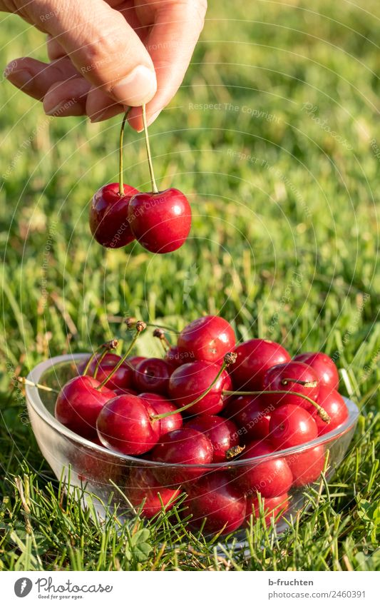 Fresh cherries Food Fruit Picnic Organic produce Bowl Man Adults Fingers Summer Garden Touch To hold on Healthy Green Red To enjoy Cherry Delicious Candy Take