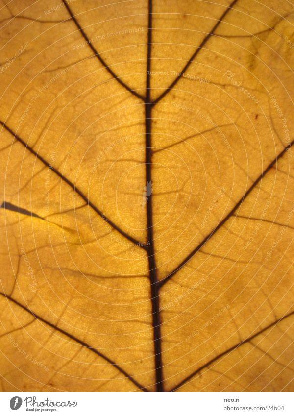 Nature Tree Colour Leaf Autumn Brown Orange Autumnal Vessel Thread Wild plant Oak tree Deciduous tree Oak leaf