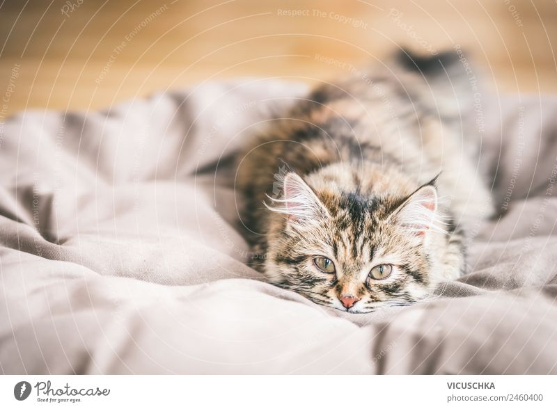 Siberian Forest Cat Kittens Lifestyle Living or residing Animal Pet putty Siberian cat Colour photo Interior shot Close-up Copy Space left Day