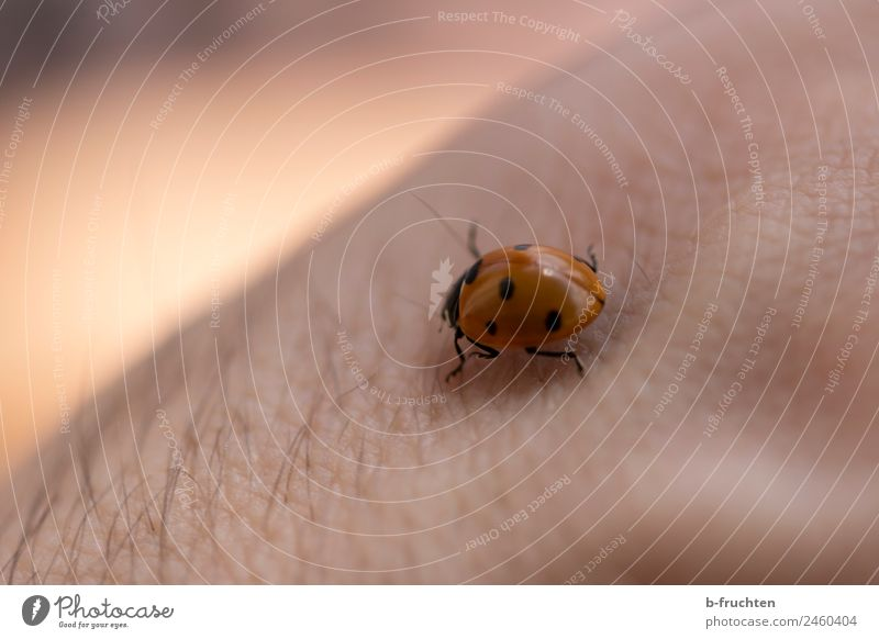 ladybugs Man Adults Skin Arm Beetle Observe Touch Movement Crawl Ladybird Point Good luck charm Nature Happy Garden Beautiful Calm Colour photo Exterior shot