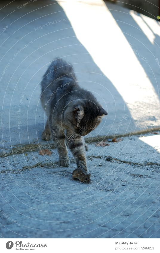 Cat and Mouse Animal Pet 2 Movement Hunting Playing Aggression Dark Authentic Blue Gray White Colour photo Exterior shot Deserted Morning Shadow Contrast