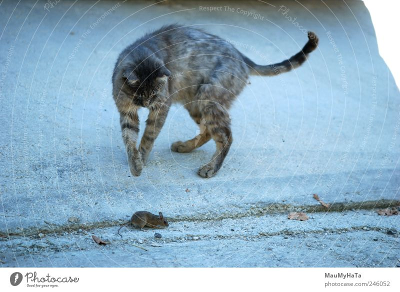 Cat and Mouse Animal Pet Paw Movement Aggression Blue Gray Death Anger Exterior shot Deserted Morning Central perspective Hunting To feed Street cat Free-living
