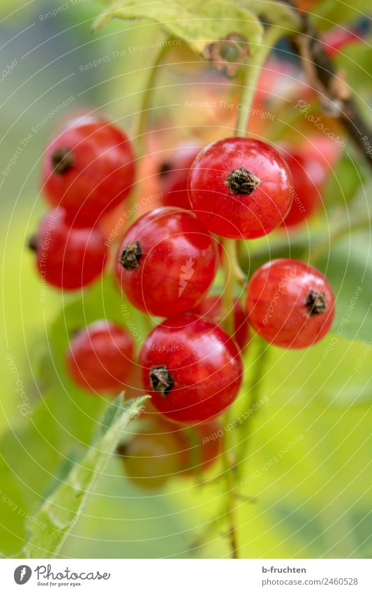 Red Currant Food Fruit Organic produce Summer Plant Agricultural crop Garden Fresh Juicy Blossom Redcurrant bush Growth Harvest Berry bushes Berries