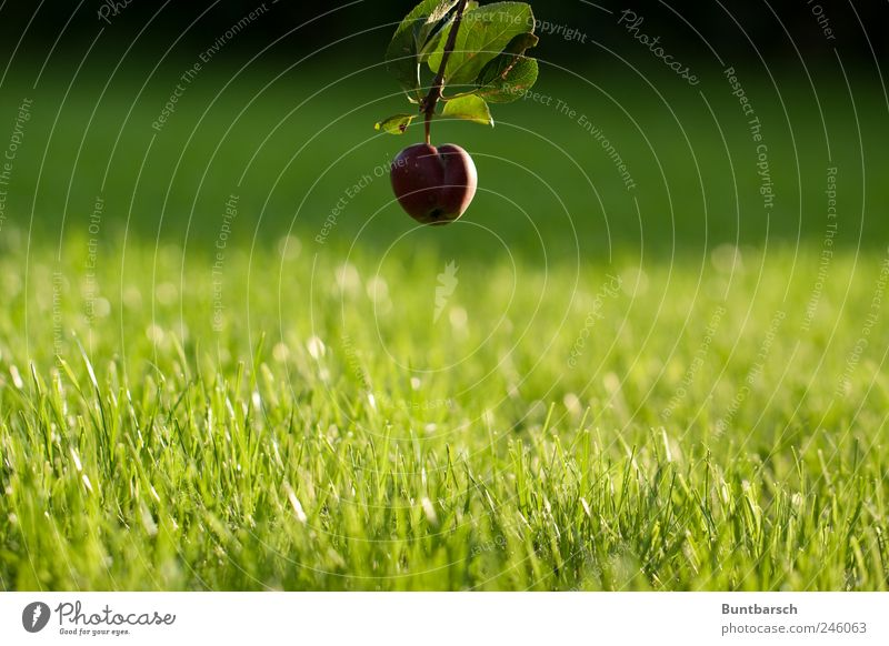 ground level Apple Nature Plant Summer Tree Grass Leaf Apple tree Apple tree leaf Garden Meadow Hang Green Red Perspective Colour photo Exterior shot Day