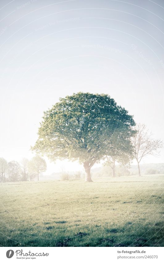 Crown of Creation Environment Nature Landscape Plant Earth Air Summer Weather Fog Tree Grass Park Meadow Field Fresh Natural Green Morning fog Dew Dawn Dusk