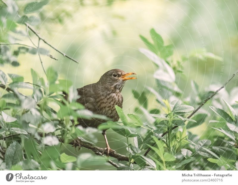 singing blackbird Nature Animal Sun Sunlight Beautiful weather Tree Leaf Wild animal Bird Animal face Wing Claw Blackbird Beak Eyes Feather 1 Communicate