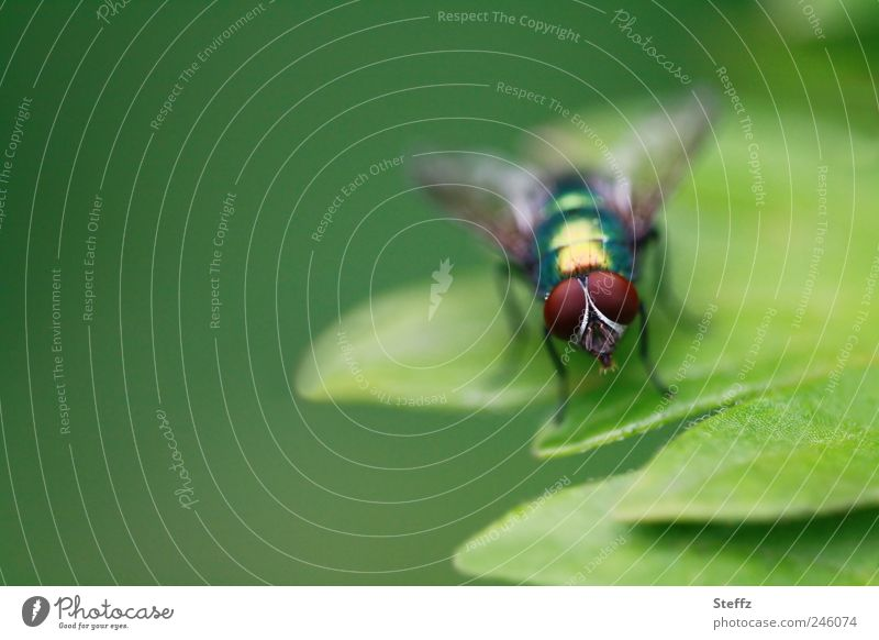 The leaf is mine! Greenbottle fly Fly green fly faceted eyes Compound eye Leaf Animal face Bright green naturally Simple Small Near Brown Glittering Insect
