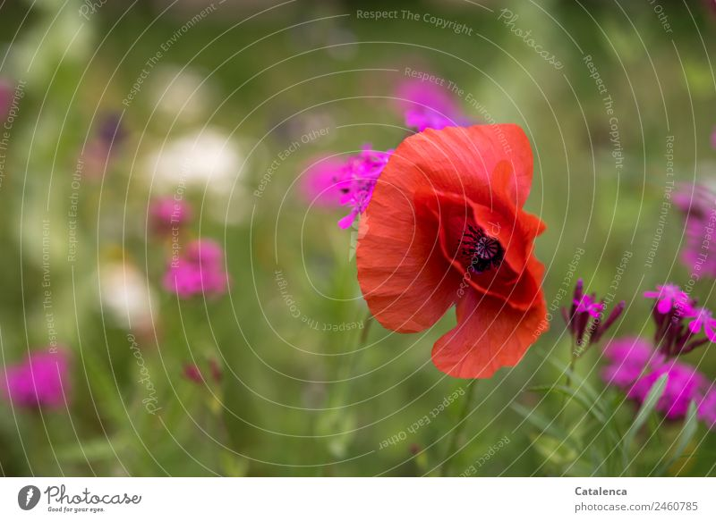 Gossip poppy in the flower meadow Nature Plant Summer Flower Grass Leaf Blossom Corn poppy Phlox Garden Meadow Blossoming Fragrance Faded Growth Esthetic