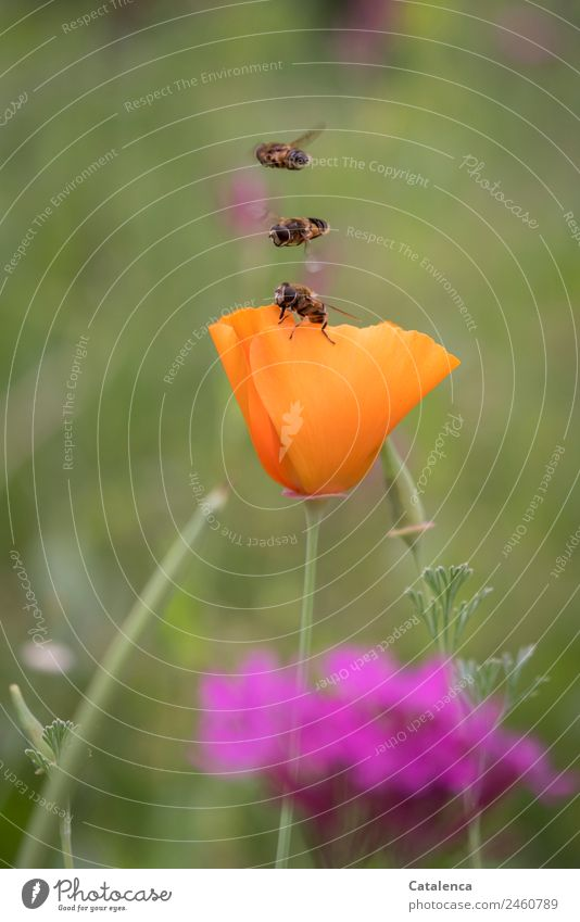Speed | precisely matched to each other Nature Plant Animal Summer Beautiful weather Flower Grass Leaf Blossom Poppy blossom Garden Meadow Field hoverflies Fly