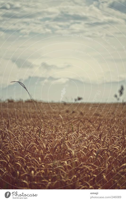 cornfield Nature Landscape Sky Summer Climate change Agricultural crop Field Mountain Dark Grain Grain field Cornfield Agriculture Natural Colour photo